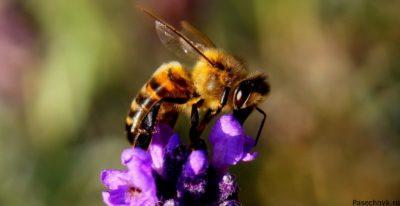 пчела на фиолетовом цветке
