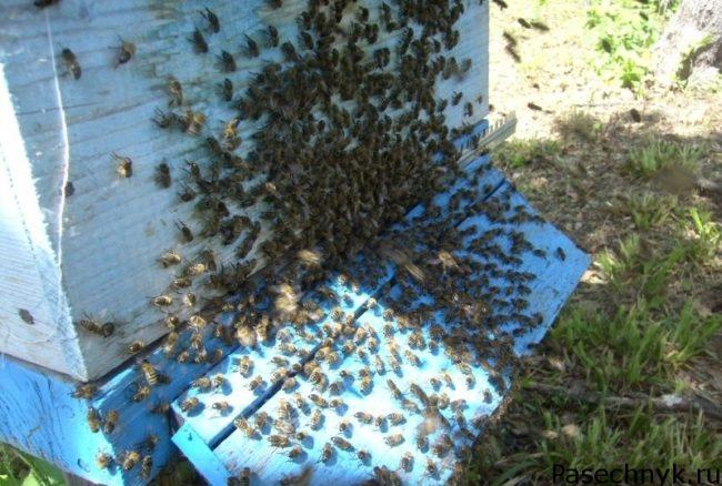 роение пчел