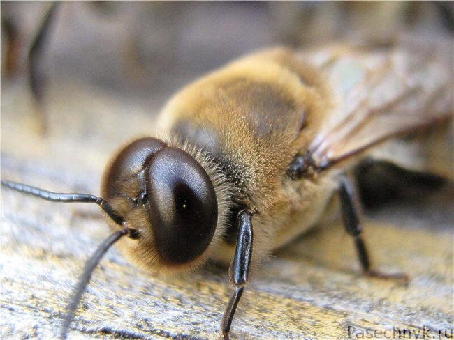 Пчела трутовка