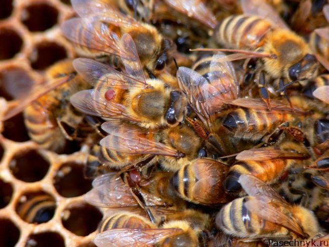 клещ варроа у многих пчел