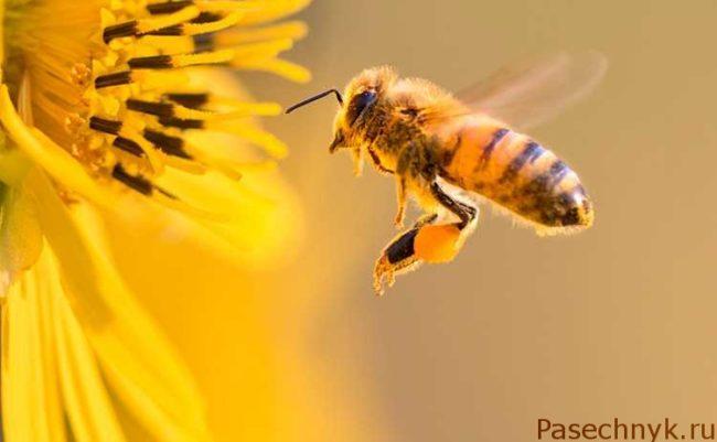 пчела и желтый цветок
