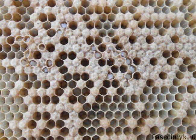 Болезни пчел Аскосфероз
