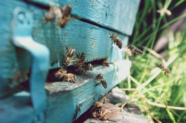 пчелы залетают в улей