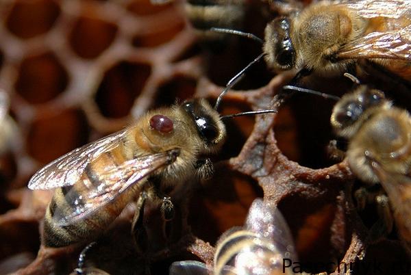 клещ варроа у пчелы