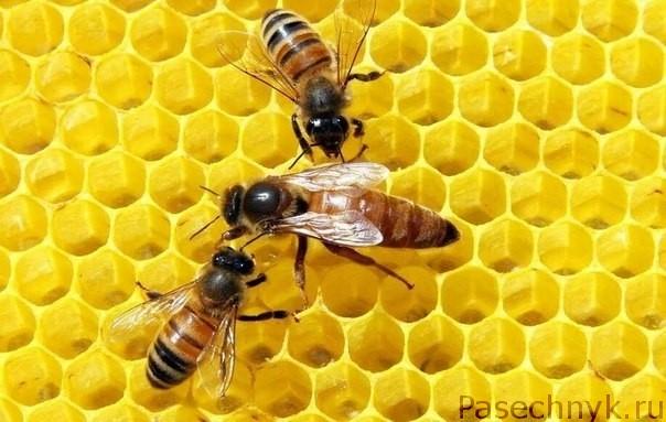 Пчелиная матка Бакфаст