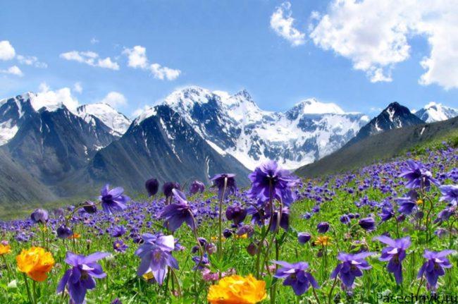 горы и цветы на алтае