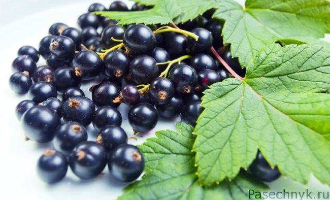 листья и плоды черной смородины