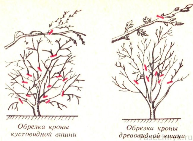 обрезка кустовидной и древовидной вишни