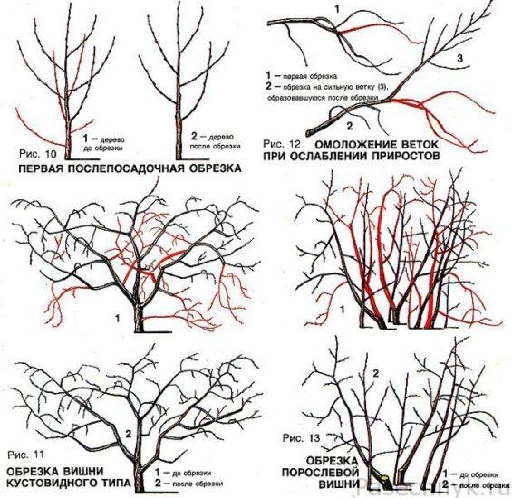Обрезка вишни осенью: схема и информация для новичков