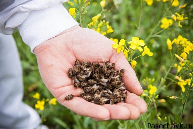 пчелиный подмор на руке