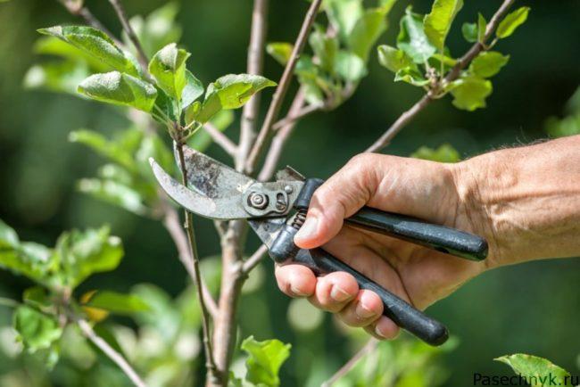 обрезка дерева секатором