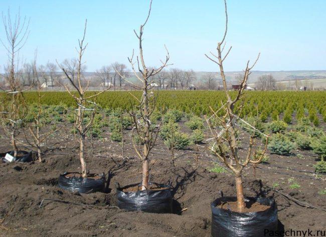фото саженцев вишни