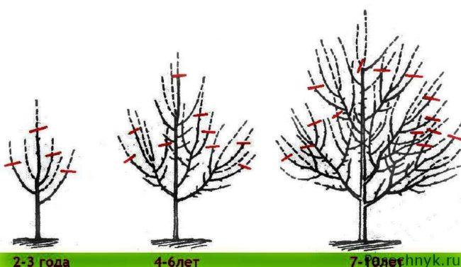 обрезка яблонь схема