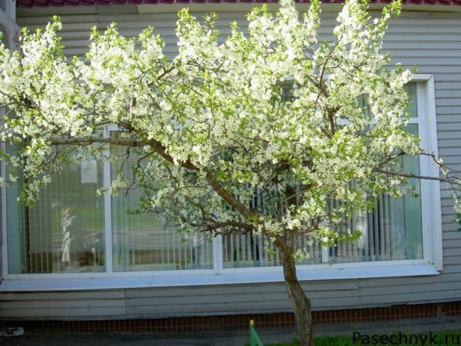 вишня возле дома