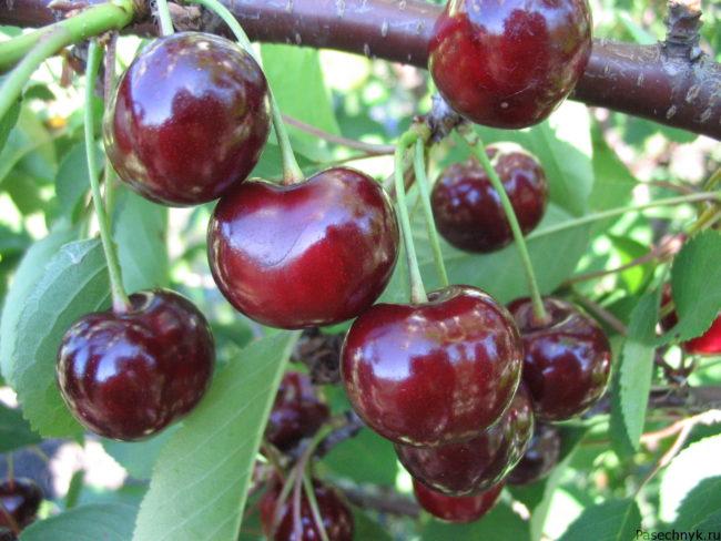 Вишня Подбельская: описание сорта, опылители, особенности