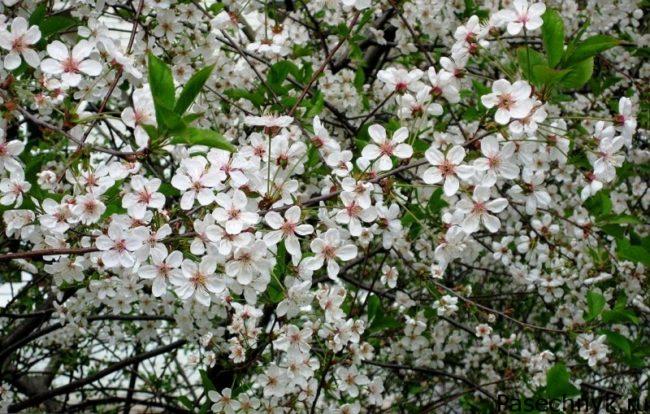 цветок вишневого дерева