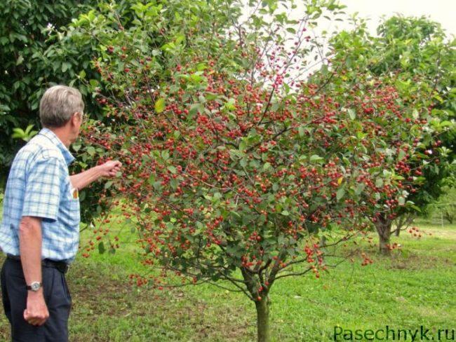 садовод и вишневое дерево
