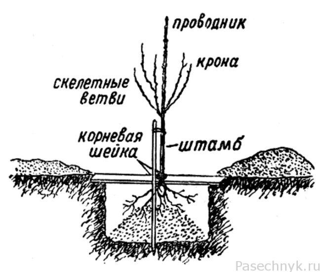 посадка вишни схема