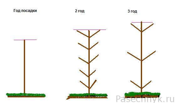 Формирование колоновидной яблони