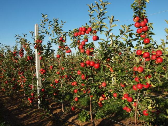 Яблони на карликовом подвое
