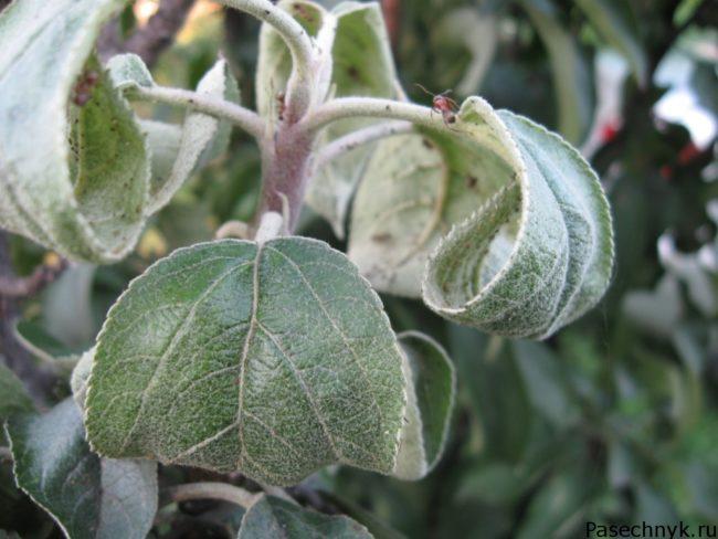скрученные листья у яблони