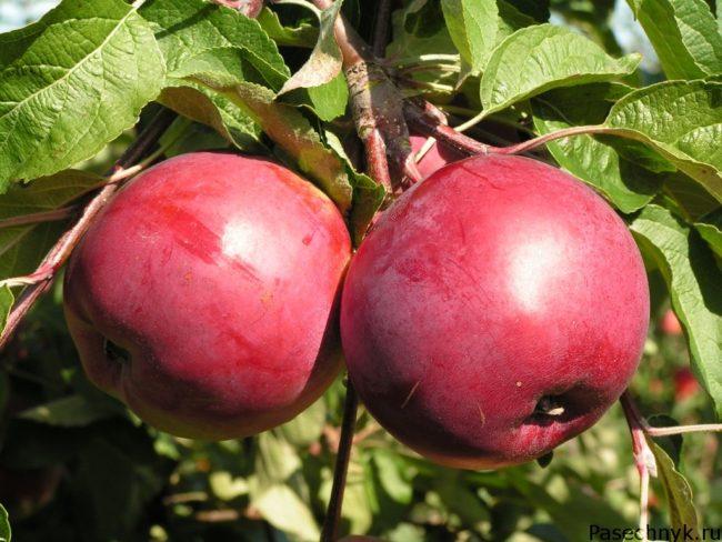 яблоня дарунак