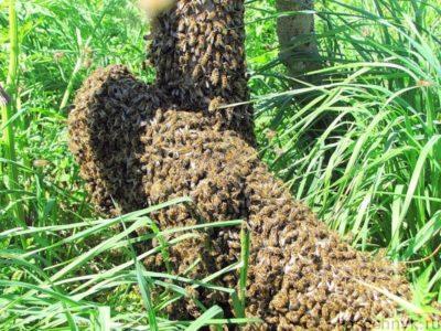 вылетевший рой пчел