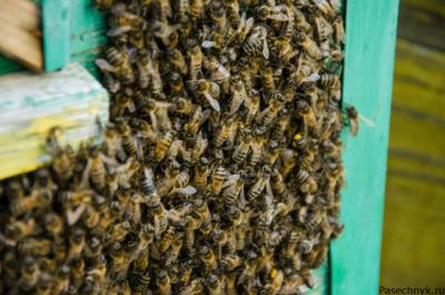 Пчелы вместе