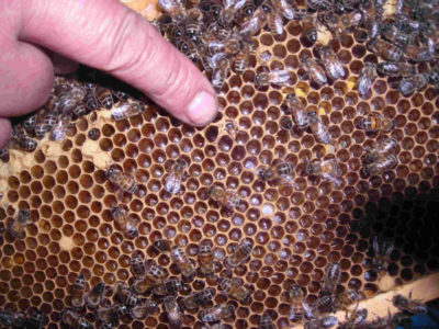 яйцекладущие пчелы-трутовки