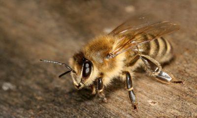 фото пчела