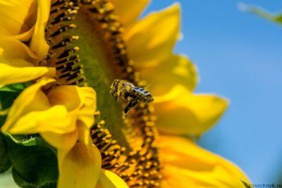 пчела и подсолнух