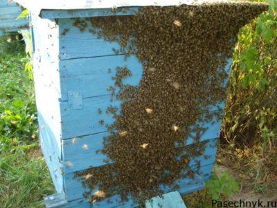 вылет пчелиного роя