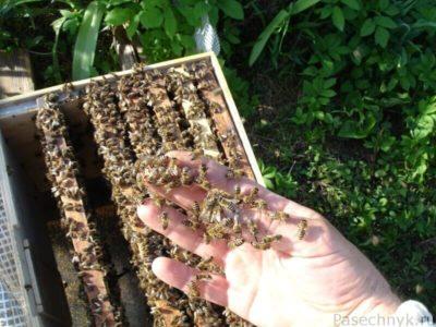пчелы на руке
