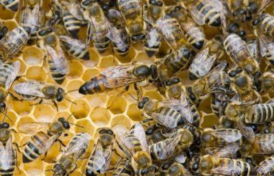 матка пчелы