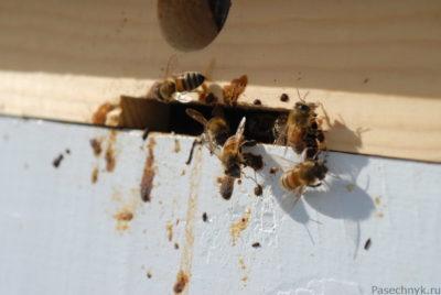 понос у пчел возле улья