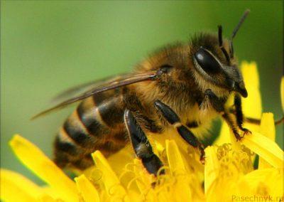 фото пчела на цветке