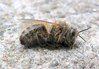 Паралич у пчел