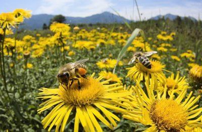 ромашки в поле с пчелами