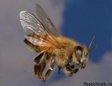 Cеверная пчела