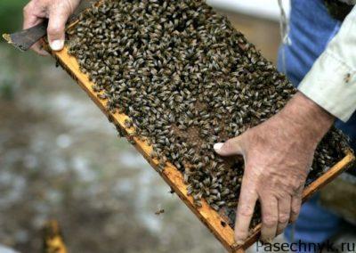 отводок пчел
