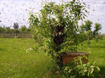 рой пчел на дереве