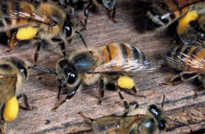 африканские пчелы убийцы