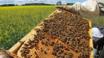 пчелиная семья на рамке