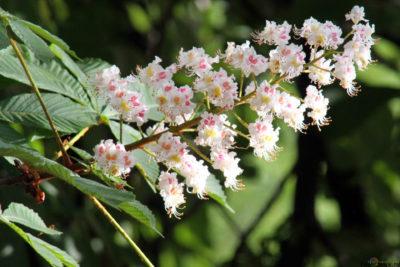 каштан цветы