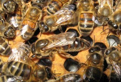 порода пчел бакфаст