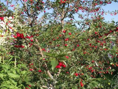 вишня шпанка дерево