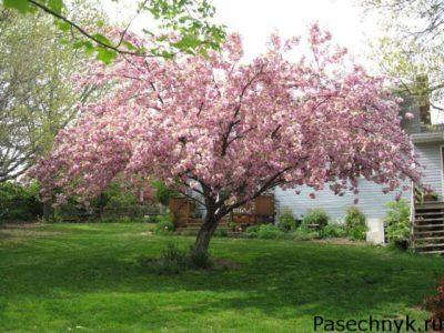 дерево вишни в подмосковье