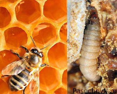восковая моль и пчела