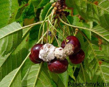 монилиоз плодов вишни