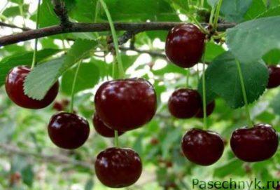 вишня владимирская плоды